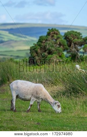 Sheep grazing after shearing. Exmoor. North Devon. UK