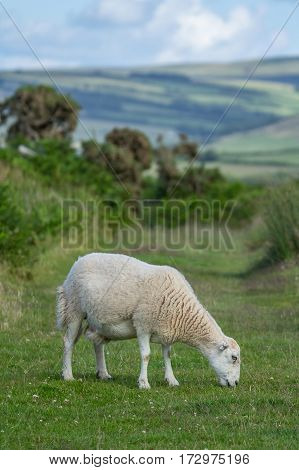 Sheep nipping the grass in the pasture in Exmoor. North Devon. UK