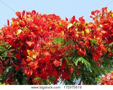 Red acacia in Or Yehuda Israel June 14 2012