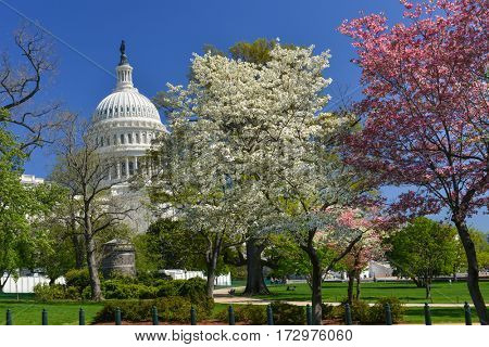 Washington DC in springtime - The United States Capitol Building among spring blossoms.