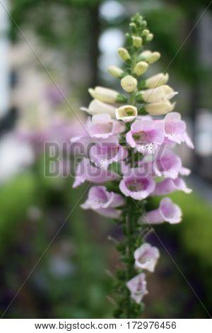 Flor Em Sinos Bell Flower in Chicago Sidewalk