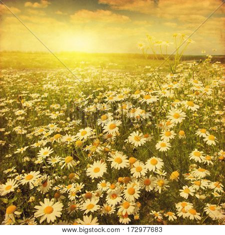 Daisy field at sunset in grunge and retro style.