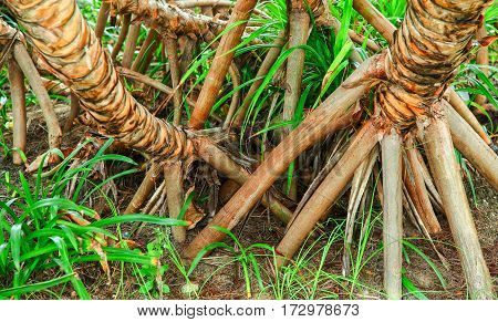 The roots of an exotic tree. Bright, unusual texture of the tree and its roots.