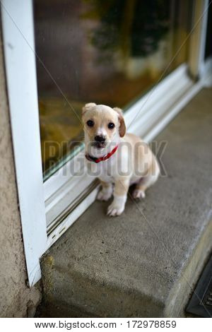 A little puppy sitting at the door terrier mix