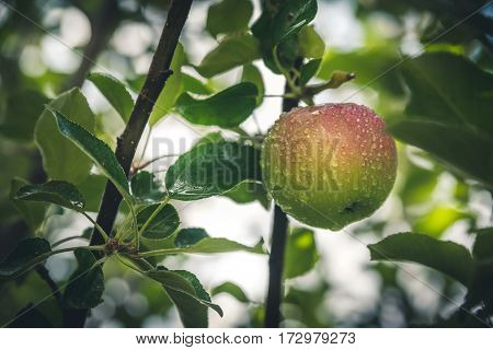 Image of a wet apple after the rain.