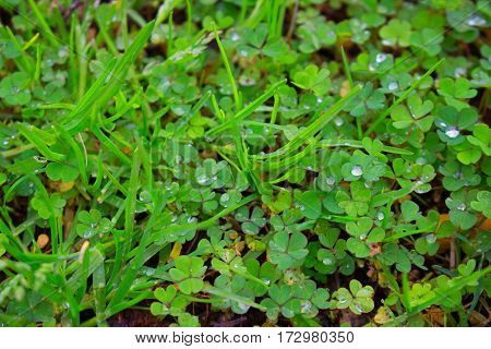 Clover. Green plant. Flora. Fresh. Leaf. Water.