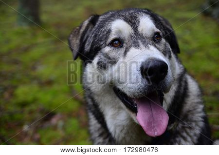 A Malamute dog portrait in forest background