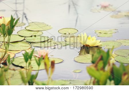 Beautiful water lily in pond