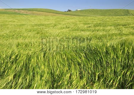 Hilly landscape with green cornfields.ITALY. Ears of corn in the wind.