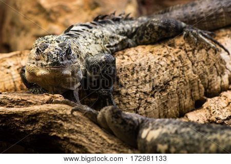 Utila spiny-tailed iguana (Ctenosaura bakeri) male. Critically endangered species of spinytail iguana (family Iguanidae) endemic to the island of Utila