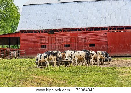 Horizontal shot of a herd of cows enjoying their breakfast in front of a red barn.