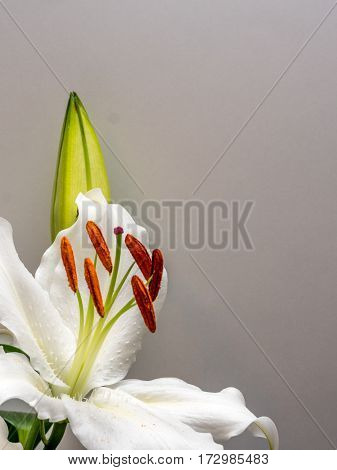 Easter lily with copy space on plain white