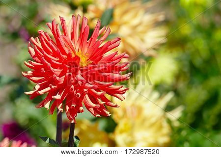 Red large flower dahlia on flowerbed. Close-up.