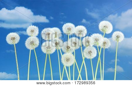 Dandelion flower on blue sky background. Bright clouds, beautiful landscape in summer season.