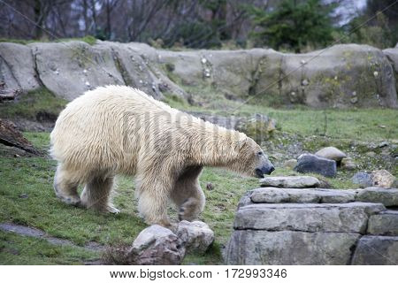 Big white bear in the spring in the forest . Polar bear is in Alaska, rocks, grass, cold spring.
