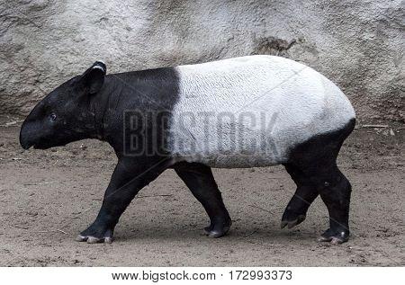 The male tapir runs along the trail to the waterhole