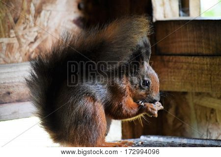 Red Squirrel in a hide, Isle of Wight