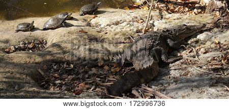 Turtles basking in the sun with their pal the crocodile