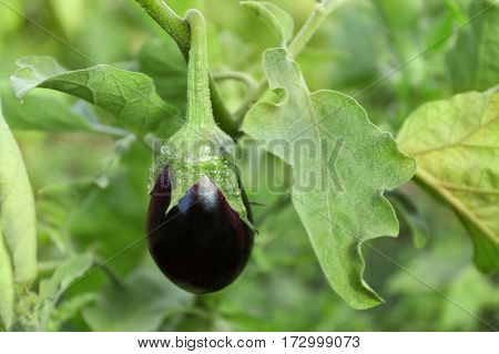 Eggplant growing in the vegetable garden