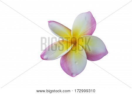 Isolated Pink Flower Frangipani Or Plumeria Bunch On White Background