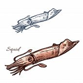 Squid sketch vector icon. Calamari or ocean cuttlefish mollusk species. Isolated symbol for seafood restaurant sign or emblem, fishing sport club or fishery industry, sea food and fish market or shop poster
