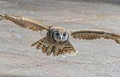 Eurasian Eagle Owl In Flight During  A Raptor Show poster