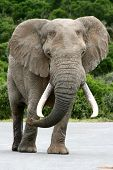 An African elephant with large tusks walking on a road poster