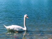 a white swan swinmming alon on a crystal blue lake. poster