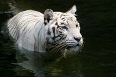 A white bengal tiger cools off by wading in the water poster