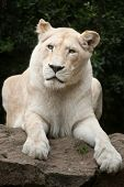Female white lion. The white lion is a colour mutation of the Transvaal lion (Panthera leo krugeri), also known as the Southeast African or Kalahari lion. poster