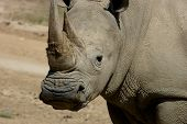 African Rhino staring at me as I took this picture poster