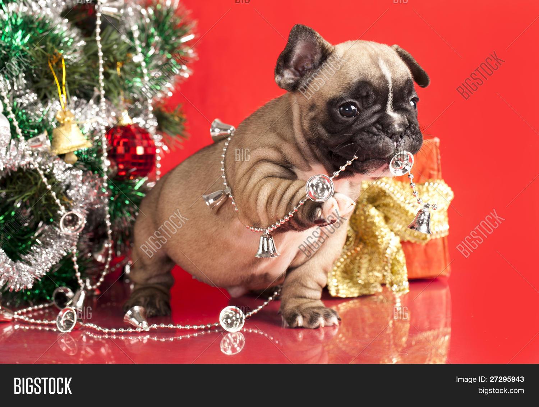 French Bulldog Puppy Image & Photo (Free Trial) | Bigstock