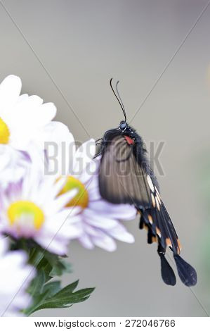Macro Of A Black And Red Butterfly Sitting On A Pink Flower