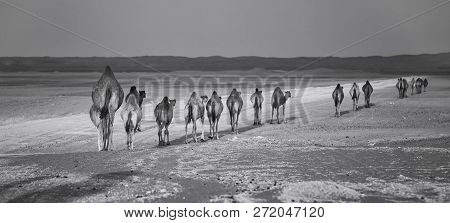 Row Of Camels Walking Along A Road At Sunset In The Desert Artistic Conversion
