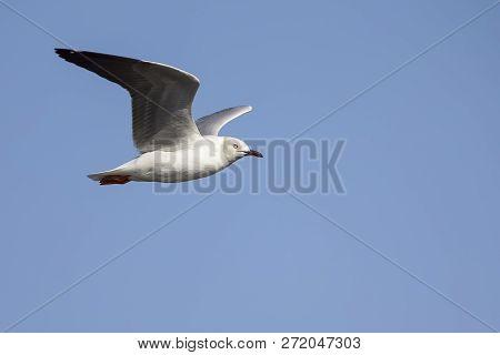 Grey Headed Gull Flying Against A Grey Sky In The Morning Sun