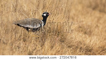 Lone Northern Black Korhaan Male Sneaking Though Some Dry Brown Grass