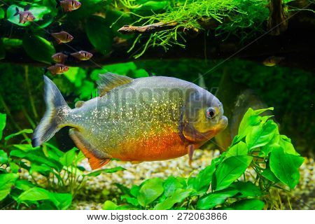 Beautiful Red Bellied Piranha With Glittery Scales Swimming In The Aquarium, A Tropical And Colorful