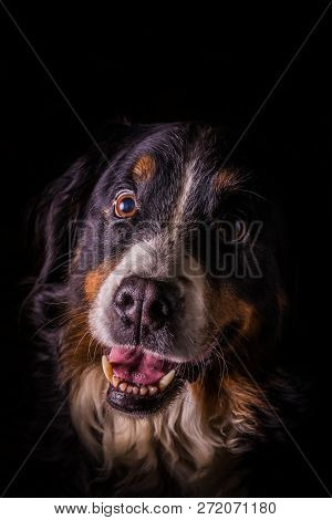 Adult Portrait Of Bernese Mountain Dog With Black Background
