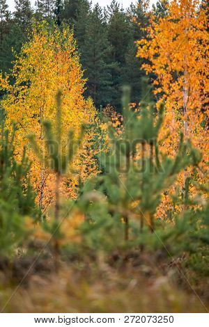 Birch With Yellow Leaves Among Green Fir Trees. Autumn Trees In The Forest Autumn Birch And Fir Tree
