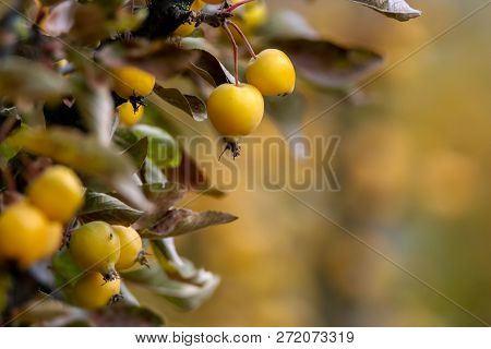 Small Paradise Apples Among The Leaves On A Tree Branch. Yellow Apples On Tree Branch. Paradise Appl