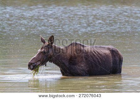 Colorado Rocky Mountains - Shiras Moose In The Wild. Moose Cow Feeding In A Mountain Lake