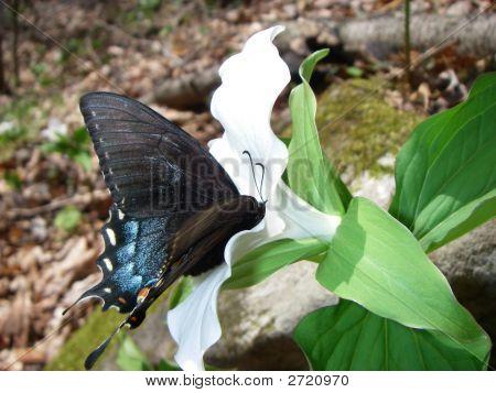 Swallowtail On White Flower