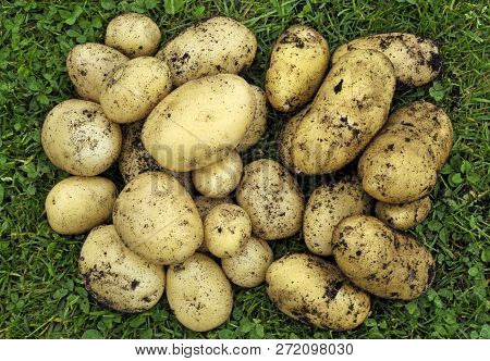 Two Varieties Of Freshly Dug Home Grown New Potatoes, First Early Swift, Left And Salad Potato Charl