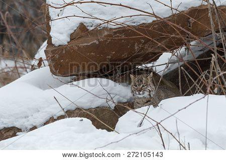 Bobcat (lynx Rufus) Under Rock Pile - Captive Animal