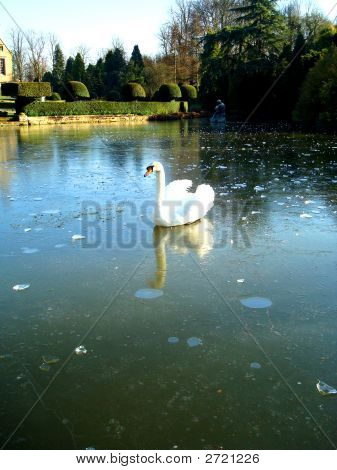 Lonely Swan On The Ice