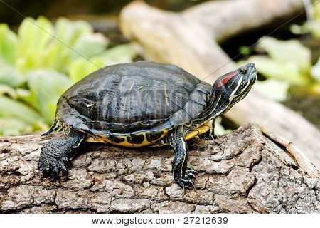 Trachemys scripta troostii - tortuga de Cumberland