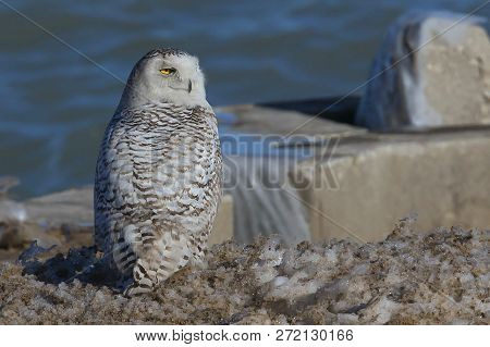 The Snowy Owl (bubo Scandiacus)  On The Shore Of The Lake Michigan.every Winter These Owls Migrate