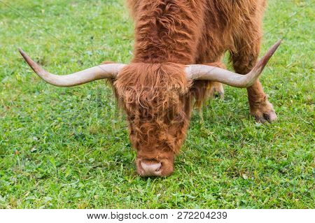 Head Of Natural Horned Brown Scottish Highland Beef  Grazing In Green Grass