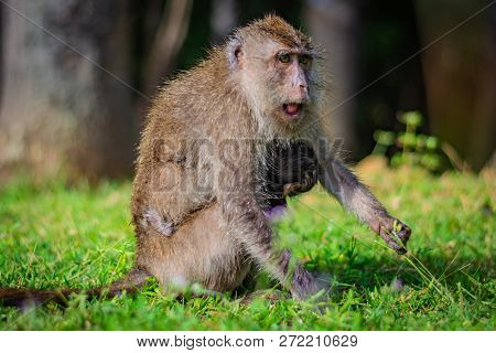 Eating-crab Macaque (long-tailed Macaque) Mother Is Feeding Young Monkey Attached To Its Breast In K
