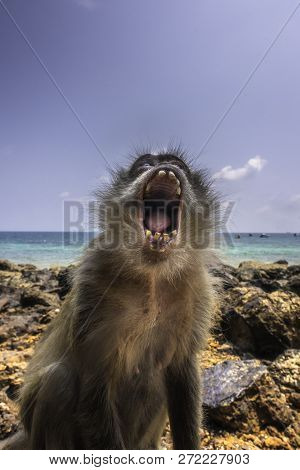 Angry Monkey Crab-eating Macaque Macaca Fascicularis Also Known As Long-tailed Macaque